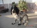 Собака,  Английский Спаниель