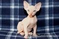 Котята канадского сфинкса  GHJLFV