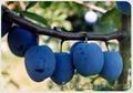 Саженцы перспективных фруктовых культур для интенсивного садоводство