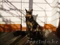 пародистые щенки немецкой овчарки