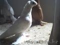 Продажа голубей узбекской парды тел 87058693887