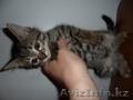 Продам симпатичных котят