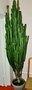 кактус   без названия