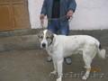 Собака алабай 1, 5 года