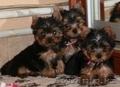 Милые щенки Йоркширского Терьера