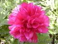 садовые растения   - Изображение #3, Объявление #1374640