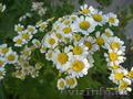 садовые растения   - Изображение #2, Объявление #1374640